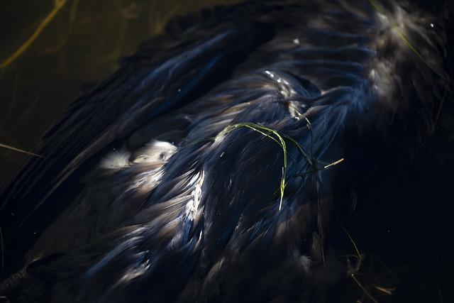 Cormorant_IX7