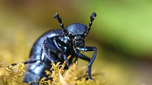 Male Violet oil beetle {explored}