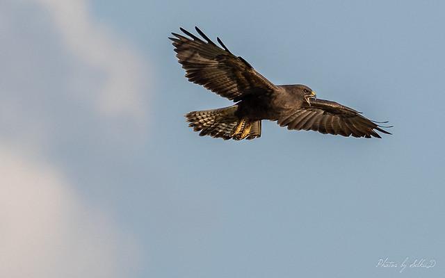 Swainson's Hawk, Merced NWR