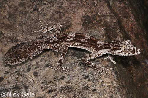 Rough-throated Leaf-tailed Gecko (Saltuarius salebrosus)   by Nick Gale