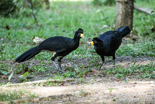 Black Curassow | by nickathanas