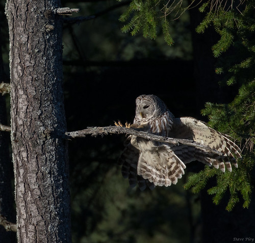 Barred owl- landing