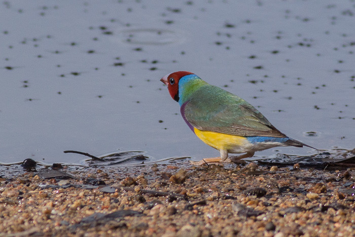 Gouldian Finch - red-faced morph