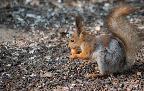 curious Squirrel with nut in hands trying to crack it   by FromMoscowWithLove