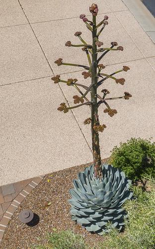 sugardxn southwest garypentin tucson arizona az agave agaviparryi canon canon7d canoneos7d cactus flower desert garden nature outdoor photoshop usa dji drone phantom
