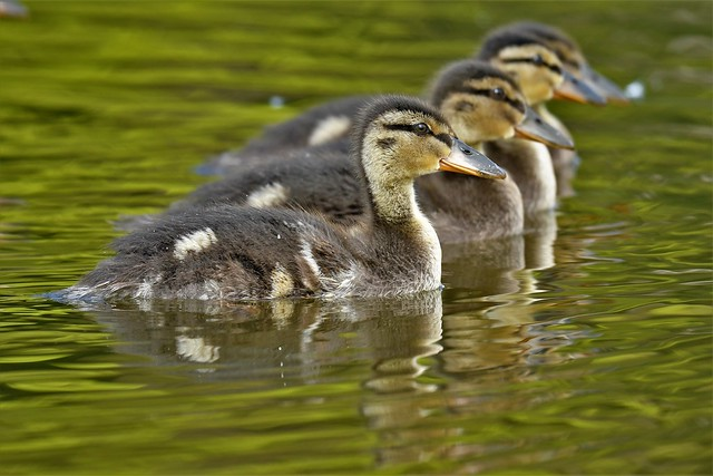 All your ducklings in a row