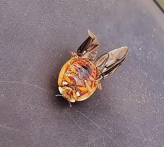 Asian Lady Beetle Underside