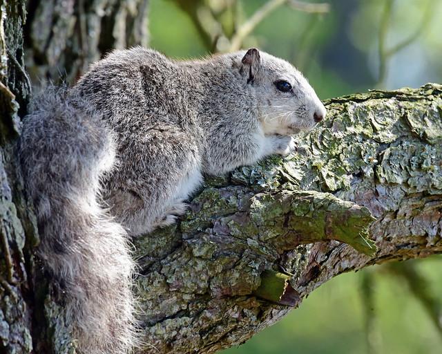 DSC_6870=52418Fox squirrel