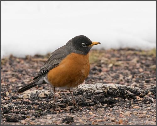 americanrobin custerstatepark snow bird wildlife custer southdakota unitedstatesofamerica