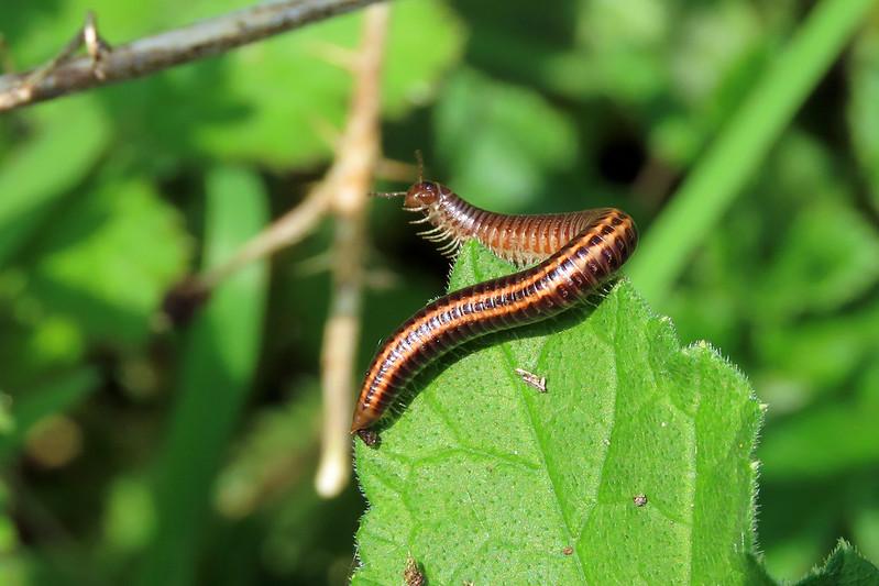 Striped Millipede - Ommatoiulus sabulosus