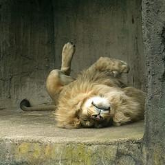 Lion Comfort SR600713