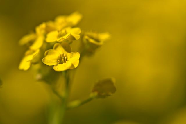Golden Alyssum