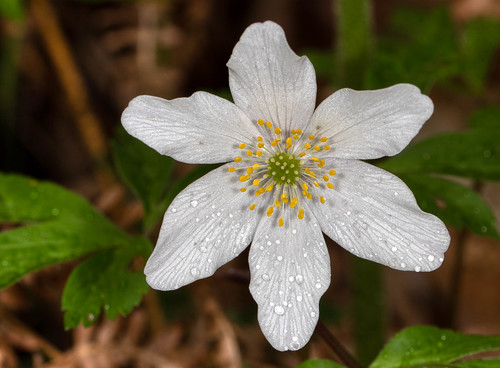 Wood Anemone - Anemone nemorosa