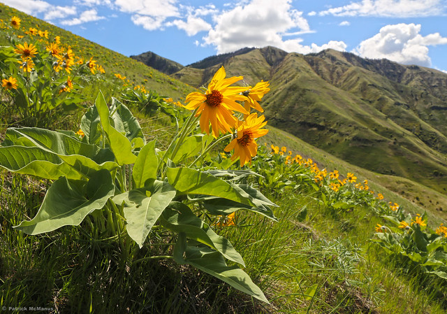 Arrowleaf Balsamroot - Asotin County - Washington State