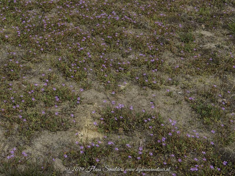 Reigersbek (Erodium cicutarium)-819_1309