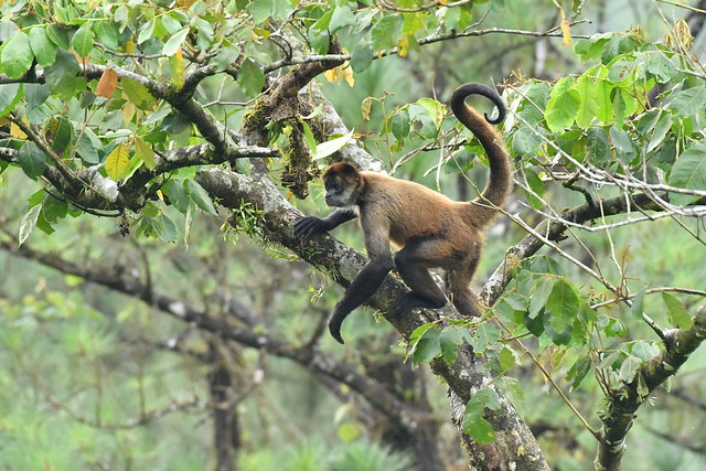 Costa Rica Spider Monkey. Arenal Observatory Lodge,  Taken from my room's back porch (room 31).