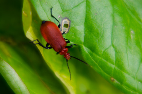 Red on green: cardinal beetle
