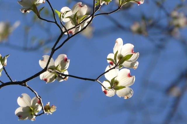 Flowering Dogwood_P1020371