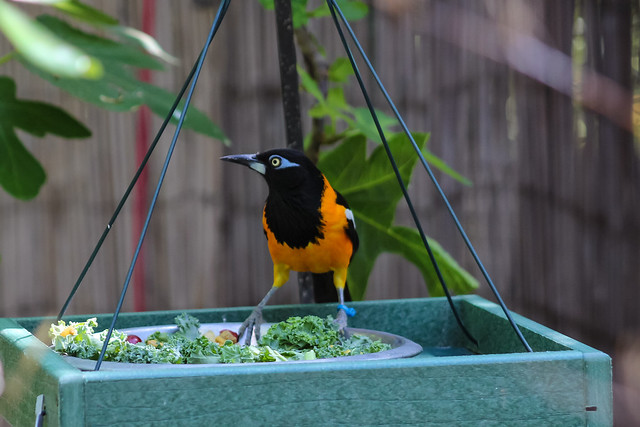 Troupial at feeder