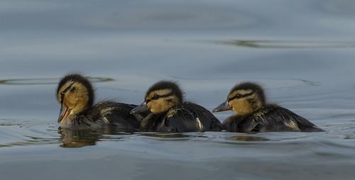 Ducklings (Mallard)