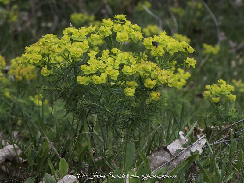 Cipreswolfsmelk (Euphorbia cyparissias)-