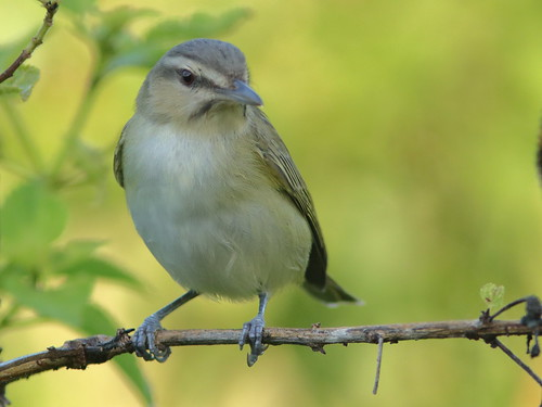 Black-whiskered Vireo 03-20190504
