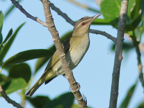 Black-whiskered Vireo first look 20190504