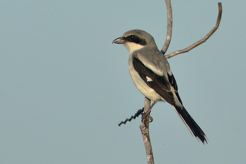 Loggerhead Shrike 640 ISO160 ExpComp plus 2 thirds  20190504