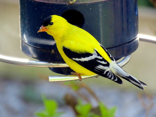 american golden finch