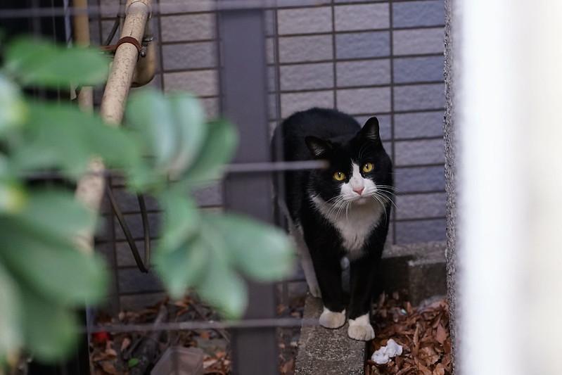 79 雑司ヶ谷路地の傾げるコーナーの猫