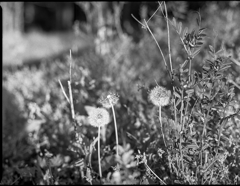 dandelions, gone to seed, weeds, West Asheville, NC, Mamiya 645 Pro, mamiya sekor 80mm f-2.8, Kodak Tri-X 400, HC-110 developer, 5.1.19-Kodak No 2 Cartridge Premo Model B-, Kodak Tri-X 400, HC-110 developer, 5.1.19