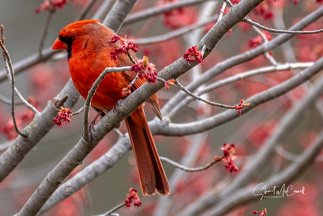Cardinal (m) matches the maple buds