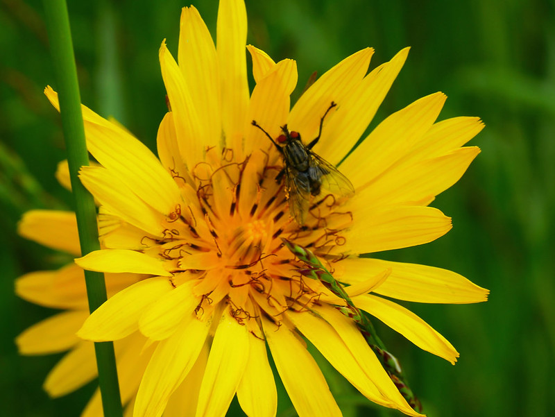fleur jaune des prés  40814698123_d12294d1f3_c
