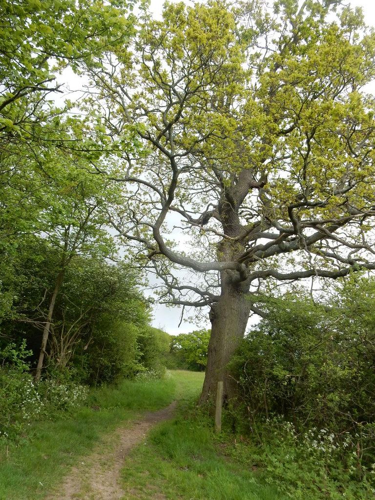 Big tree Totteridge Circular