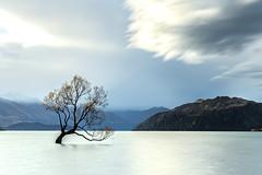 Lone Tree of Lake Wanaka, New Zealand