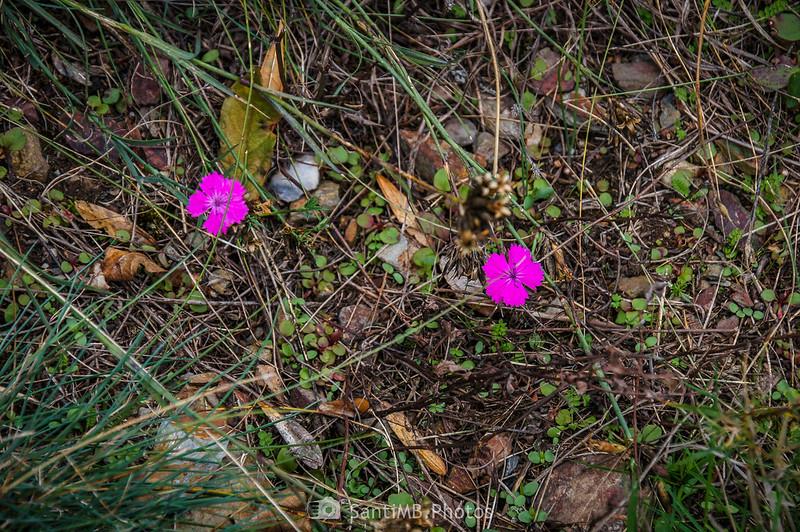 Claveles silvestres en el Camín de Carlac