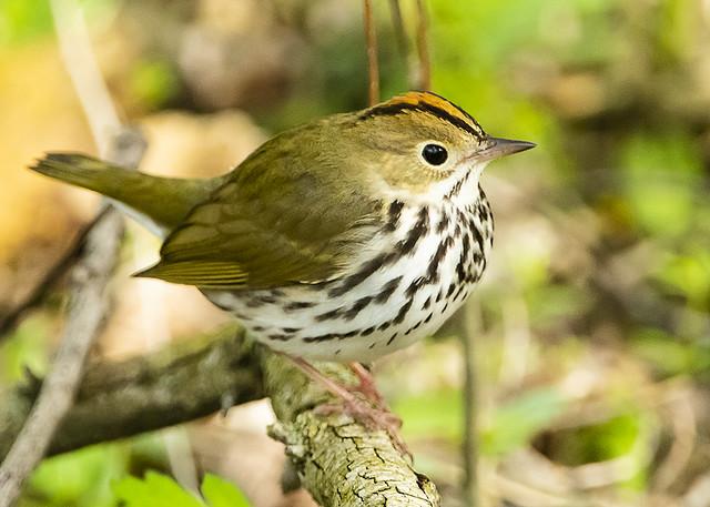 Ovenbird Standing