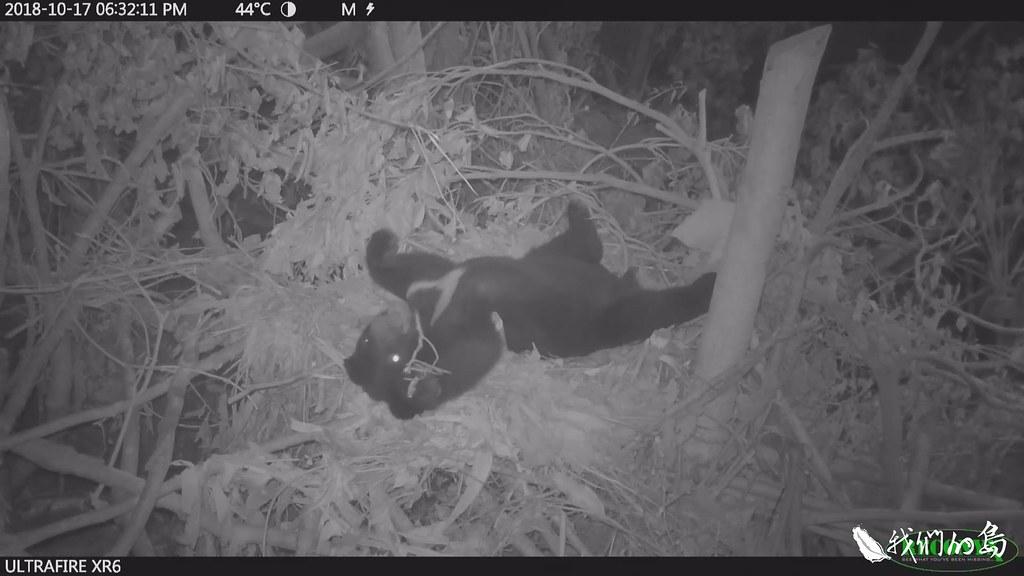 1003-1- (162)野外的台灣黑熊有築巢習性,小熊也很快展現築巢技能,在森林展場的樹冠層,做了六七個舒適的窩。(畫面提供 台灣黑熊保育協會)