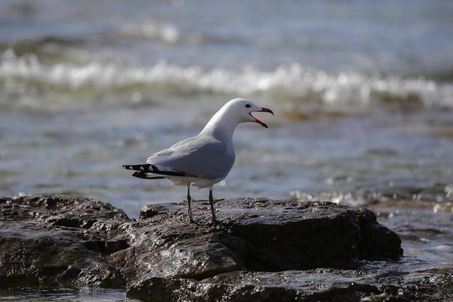 IMG_8163 Seagull, Mallorca