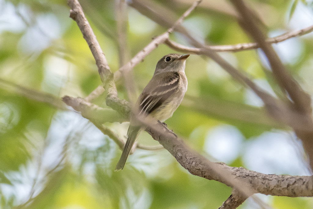 Least Flycatcher and Yellow Warbler-22