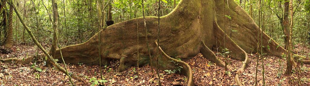 Kapok tree, Ankasa Conservation Area, Ghana