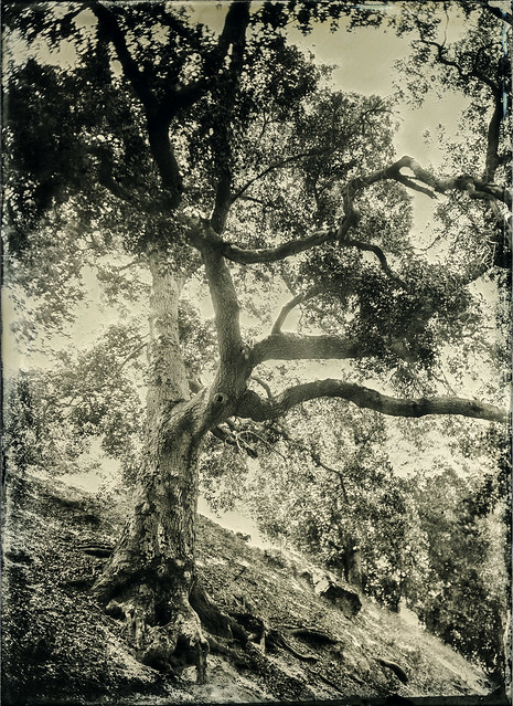 Backlit Tree - Tintype