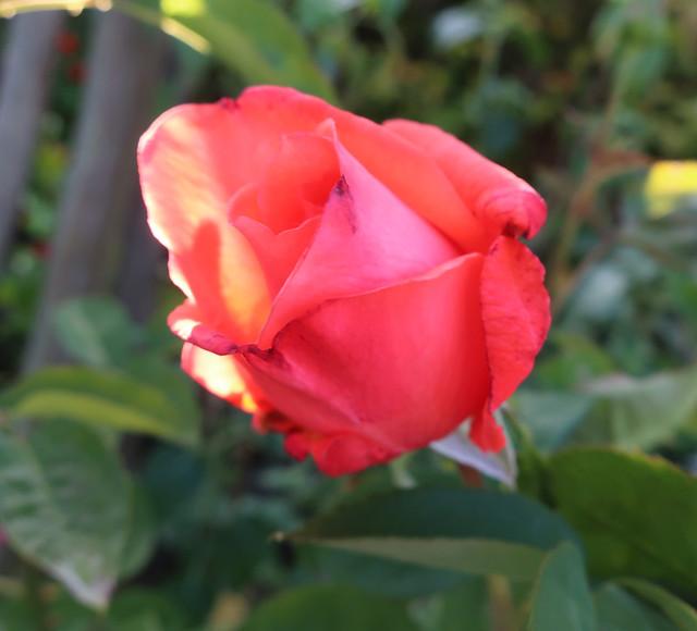 coral rose 2019