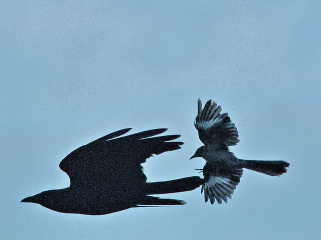 Fish Crow and Northern Mockingbird 03-20190506