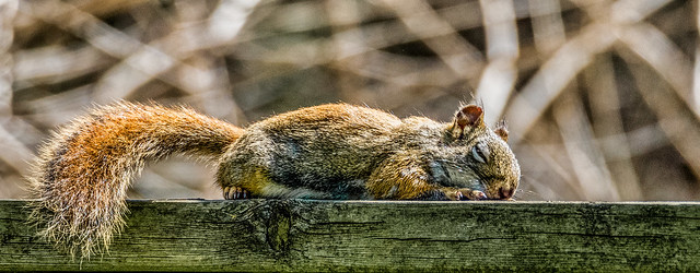 Red squirrel falls asleep on a fence after sunbathing in the warm Spring sun