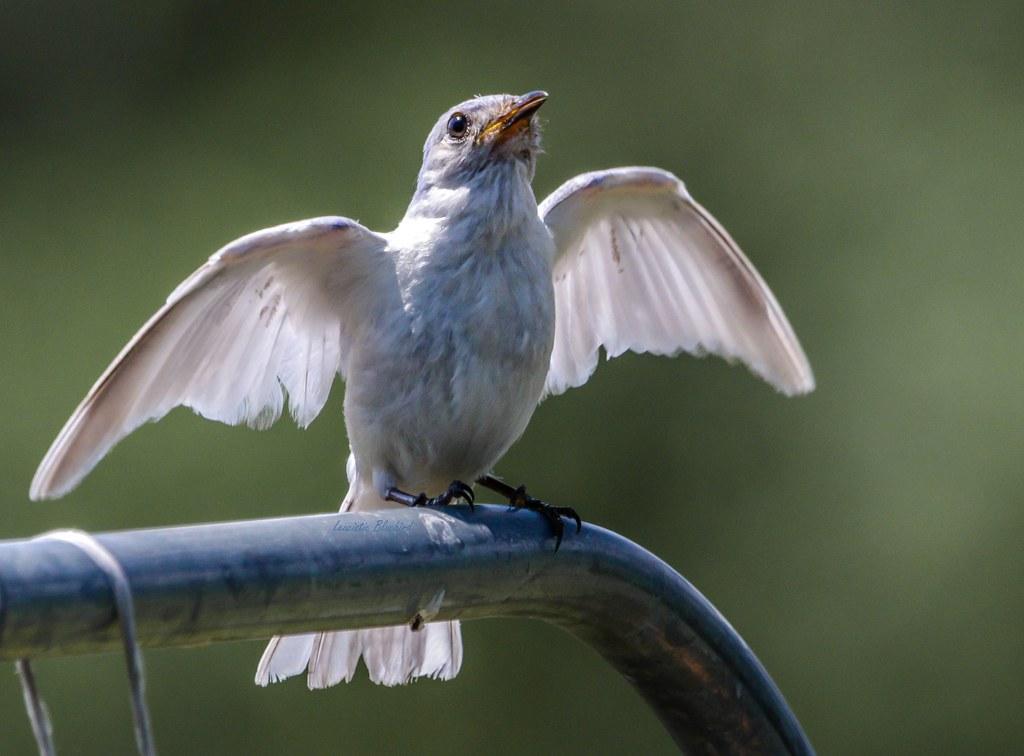 Leucistic Eastern Bluebird