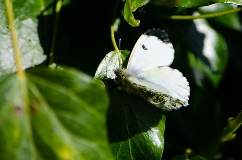 Female orange tip butterfly, ivy leaf