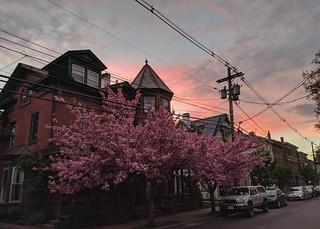 Pinks at Evening
