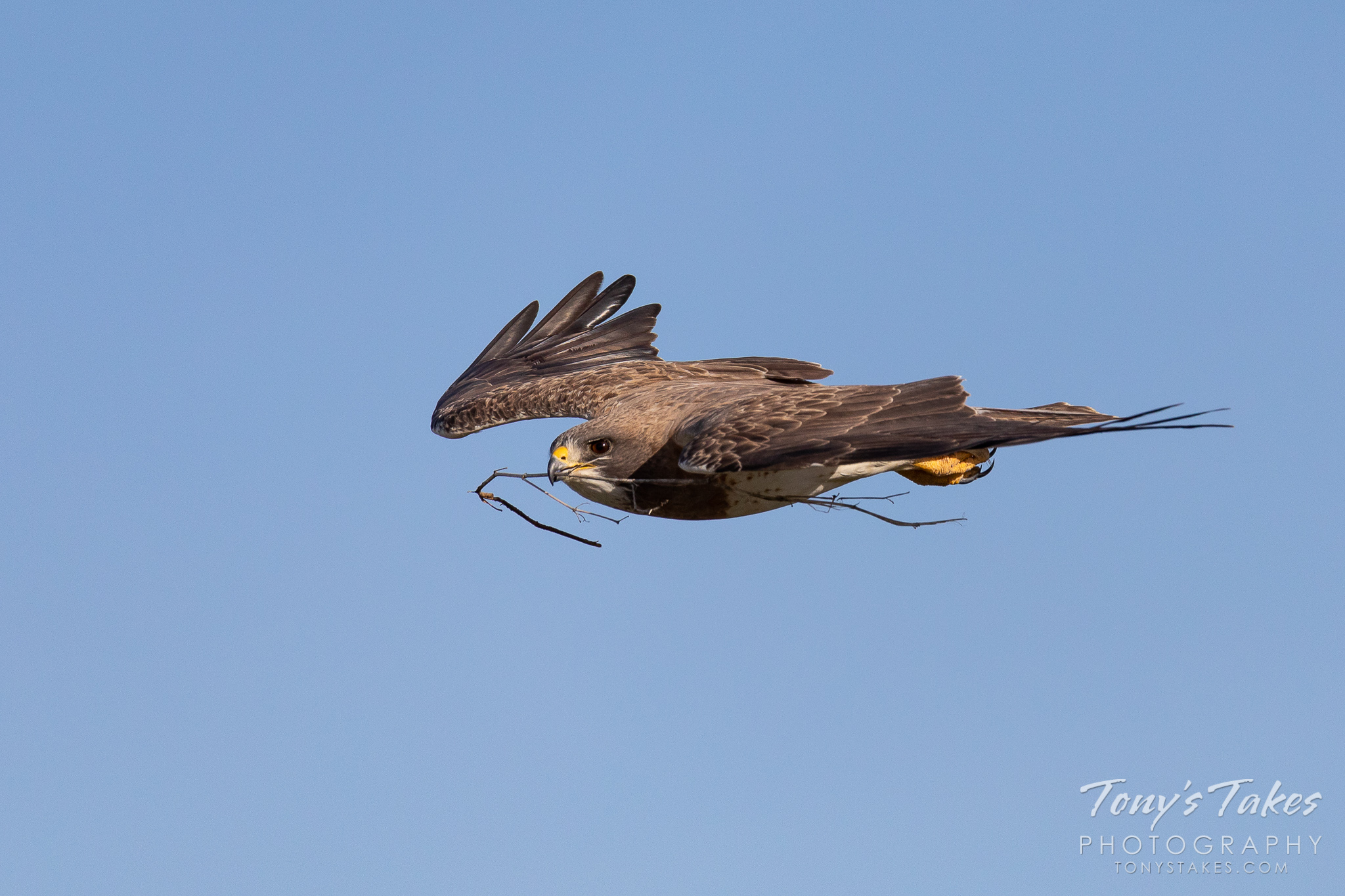 A Swainson's hawk returns to its nest with some building material in its beak. (© Tony's Takes)