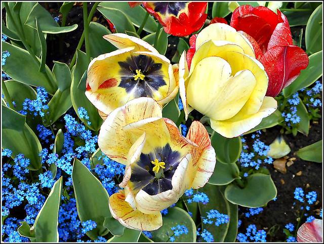 Tulip Varieties ..